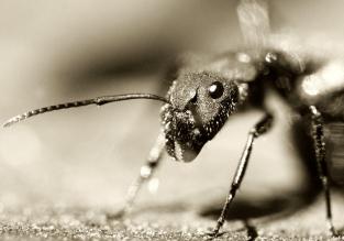 Тайный рецепт муравьиного масла