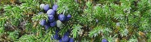 Свойства и применение в медицине плодов можжевельника