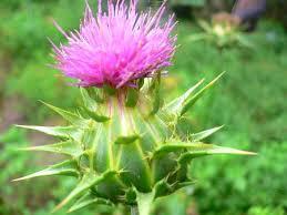 lechebnye-svojstva-rastoropshi
