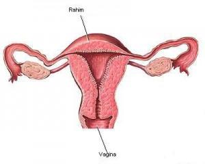 anatomi_rahim