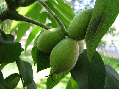 Лечебные свойства грецкого ореха