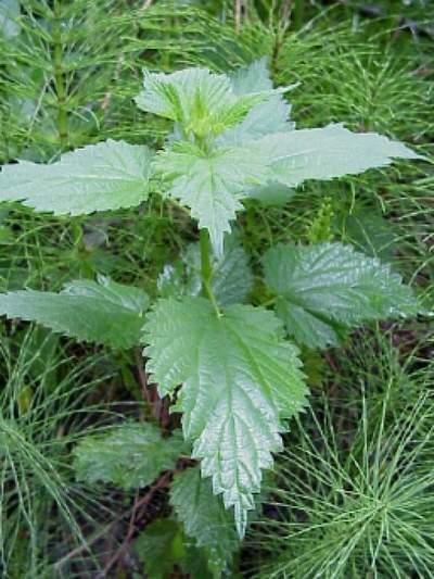 Листья крапивы - природная аптека