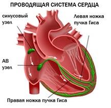 Пучки Гиса В Сердце Фото